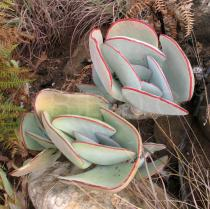 Cotyledon orbiculata - Foliage - Click to enlarge!