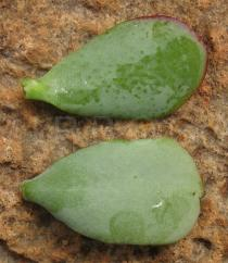 Crassula arborea - Upper and lower surface of leaf - Click to enlarge!