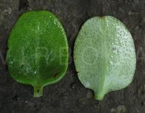Crassula multicava - Upper and lower side of leaf - Click to enlarge!