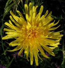 Crepis biennis - Flower head - Click to enlarge!