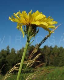 Crepis biennis - Flower head, side view - Click to enlarge!