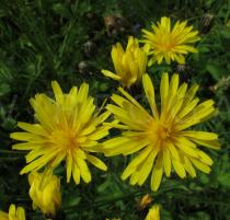 Crepis nicaeensis - Flower heads - Click to enlarge!