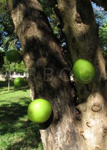 Crescentia alata - Trunk with fruits - Click to enlarge!