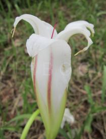 Crinum ornatum - Flower, side view - Click to enlarge!