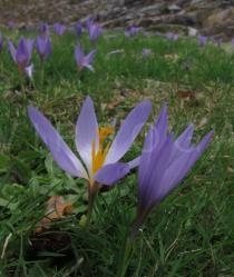 Crocus serotinus - Flower, side view - Click to enlarge!