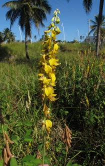 Crotalaria incana - Inflorescence - Click to enlarge!