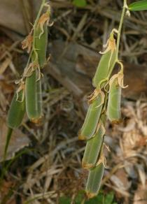 Crotalaria tetragona - Pods - Click to enlarge!