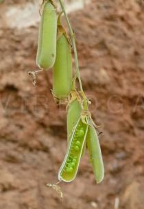 Crotalaria tetragona - Opened pod - Click to enlarge!