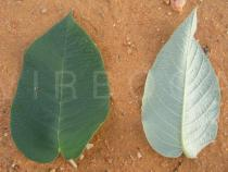 Croton sonderianus - Upper and lower surface of leaf - Click to enlarge!