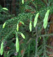 Cryptomeria japonica - Twig - Click to enlarge!