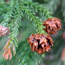 Cryptomeria japonica - Ripe female cones - Click to enlarge!