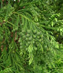 Cryptomeria japonica - Branch with unripe and ripe female cones - Click to enlarge!