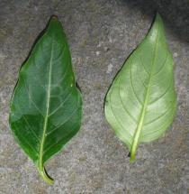 Cuphea ignea - Upper and lower surface of leaf - Click to enlarge!
