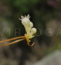 Cuscuta campestris - Flower side view - Click to enlarge!
