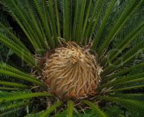 Cycas revoluta - Tuft of large leaves arranged in a spiral - Click to enlarge!
