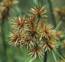 Cyperus compactus - Inflorescence close-up - Click to enlarge!