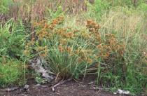 Cyperus compactus - Habit - Click to enlarge!