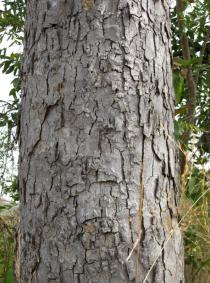 Daniellia oliveri - Bark - Click to enlarge!