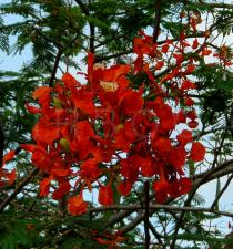Delonix regia - Flowers - Click to enlarge!