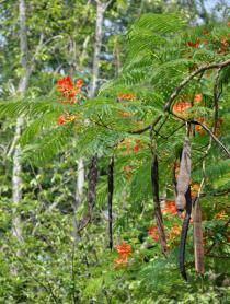Delonix regia - Branch with flowers and pods - Click to enlarge!
