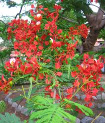 Delonix regia - Inflorescence - Click to enlarge!