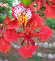 Delonix regia - Flower - Click to enlarge!