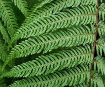 Dicksonia squarrosa - Section of the upper frond - Click to enlarge!