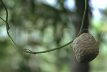 Dioscorea bulbifera - Bulbil - Click to enlarge!