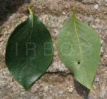 Diospyros kaki - Upper and lower surface of leaf - Click to enlarge!