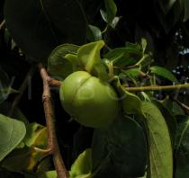 Diospyros kaki - Ripening fruit - Click to enlarge!