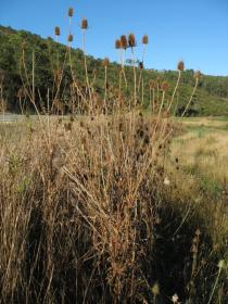Dipsacus fullonum - Habit - brown stalks and heads of dead plants - Click to enlarge!