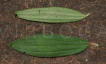 Dissotis senegambiensis - Upper and lower surface of leaf - Click to enlarge!