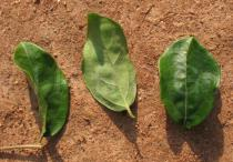 Dovyalis zenkeri - Upper and lower surface of leaf - Click to enlarge!