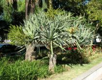 Dracaena draco - Habit - Click to enlarge!