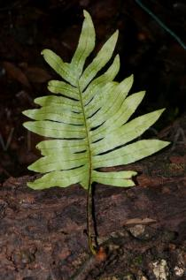 Drynaria parishii - Lower surface of frond, note the sori - Click to enlarge!