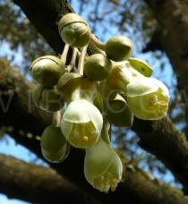 Durio zibethinus - Flower buds - Click to enlarge!
