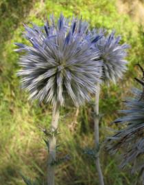 Echinops ritro - Flower head - Click to enlarge!