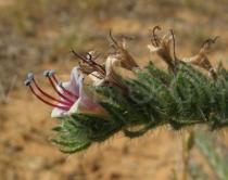 Echium asperrimum - Flower, side view - Click to enlarge!