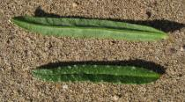 Echium tuberculatum - Upper and lower surface of leaf - Click to enlarge!