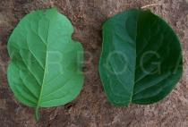 Ehretia cymosa - Upper and lower surface of leaf - Click to enlarge!