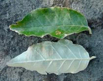 Elaeagnus umbellata - Leaf - Click to enlarge!