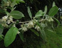 Elaeagnus umbellata - Branch with flowers - Click to enlarge!