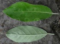 Elaeagnus umbellata - Upper and lower side of leaf - Click to enlarge!
