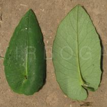 Emilia coccinea - Upper and lower surface of leaf - Click to enlarge!