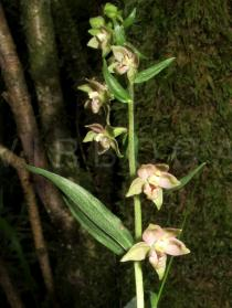 Epipactis helleborine - Flowers - Click to enlarge!