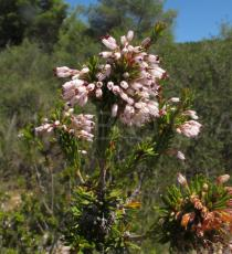 Erica multiflora - Inflorescence - Click to enlarge!