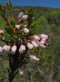 Erica multiflora - Flowers - Click to enlarge!