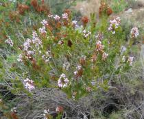 Erica multiflora - Habit - Click to enlarge!