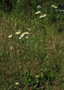 Erigeron annuus - Habit - Click to enlarge!
