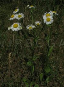 Erigeron annuus - Flower heads - Click to enlarge!